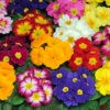 Primroses: The First Rose of Spring